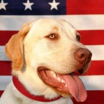 max_400_cute-lab-in-front-of-american-flag